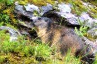 image 34 - Wanderung Murgseen Murmeltier.jpg